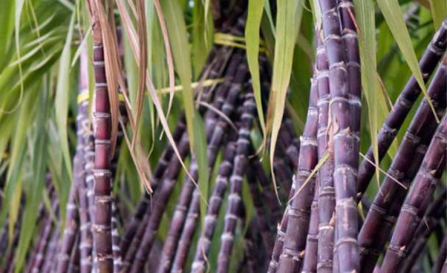 Sugar set for 'energycane' reinvention