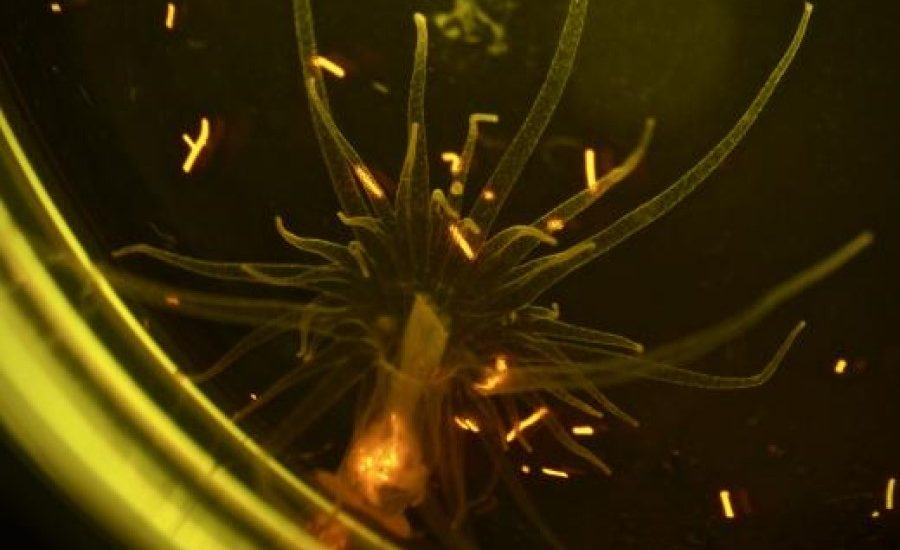 Sea anemones ingest plastic microfibers
