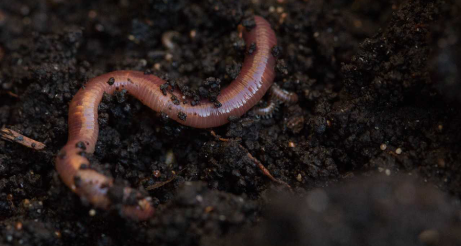 Earthworms lose weight in soils polluted with microplastics
