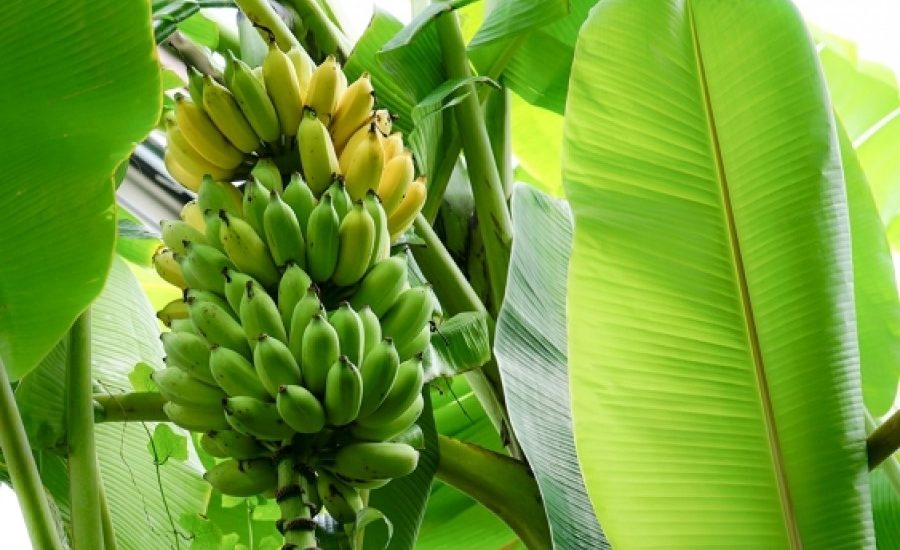 Packaging made from banana plants an 'a-peeling' alternative